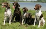 Лучшие охотничьи собаки: правила выбора породы в зависимости от объекта охоты, подробное описание животных, актуальные цены и отзывы владельцев