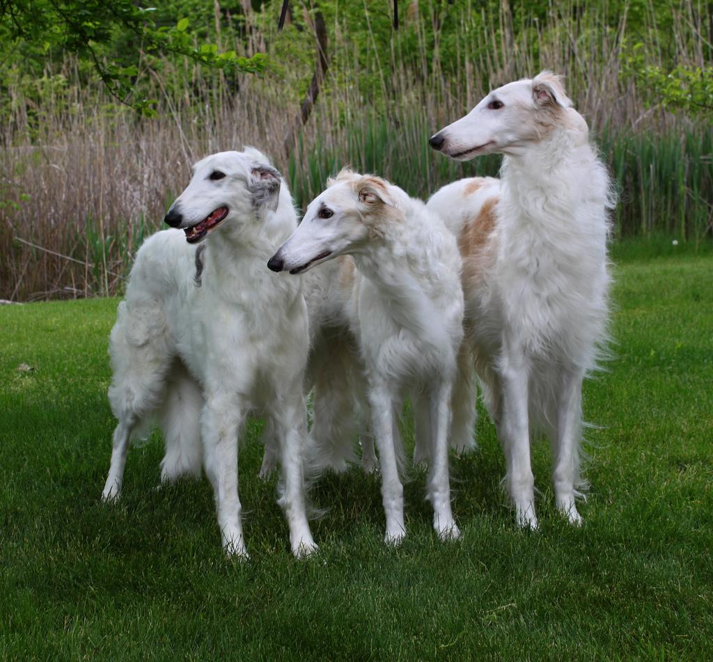 Обзор собак рода борзые