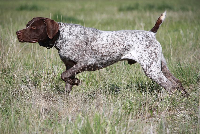 Легавые охотничьи собаки